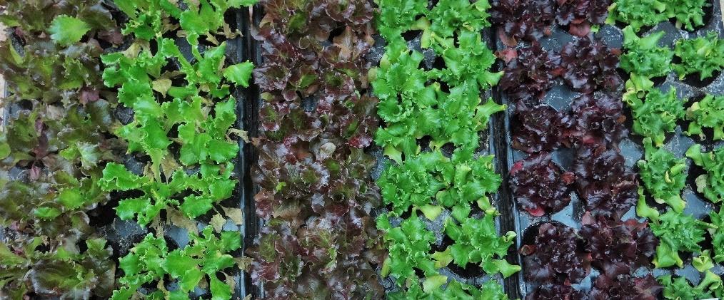 Žalialapės 'Letony' ir raudonlapės 'Redlo' mažosios salotos
