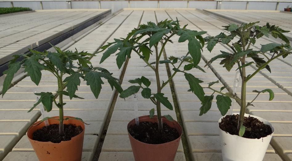 Pomidorų daigai